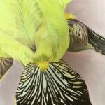 natuur - Iris-30x40-olieverf-op-doek